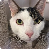 Domestic Shorthair Cat for adoption in Knoxville, Tennessee - Simon - FREE ADOPTION FEE