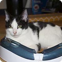 Adopt A Pet :: .Salt &Pepper - Ellicott City, MD