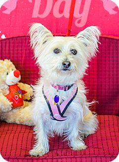Westie, West Highland White Terrier Mix Dog for adoption in Fremont, California - Heidi D4072