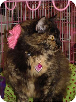 Domestic Longhair Cat for adoption in Chesapeake, Virginia - Poppy