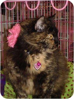 Domestic Longhair Cat for adoption in Chesapeake, Virginia - Poppy