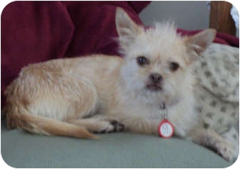 Brussels Griffon/Terrier (Unknown Type, Small) Mix Dog for adoption in Studio City, California - Peaches