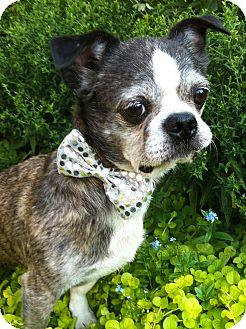 Boston Terrier Mix Dog for adoption in Cumberland, Maryland - Bulldozer