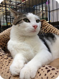 Domestic Shorthair Cat for adoption in Modesto, California - Andy