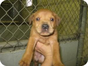 Labrador Retriever Mix Puppy for adoption in Rocky Mount, North Carolina - Lena