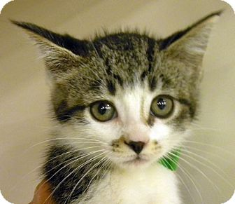 Domestic Shorthair Kitten for adoption in Green Bay, Wisconsin - Barbie