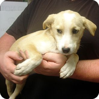 Labrador Retriever Mix Puppy for adoption in baltimore, Maryland - Vanessa