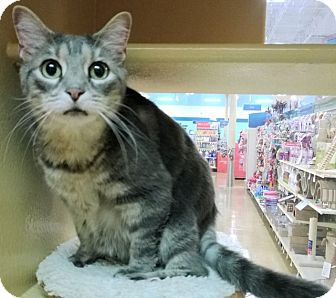 Domestic Shorthair Cat for adoption in The Colony, Texas - Kitty Anne