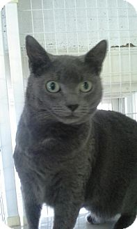 Domestic Shorthair Cat for adoption in Shelby, North Carolina - Tuesday