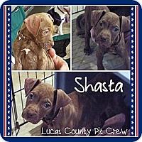 Adopt A Pet :: Shasta - Toledo, OH