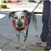Adopt A Pet :: Shiloh - Scottsdale, AZ