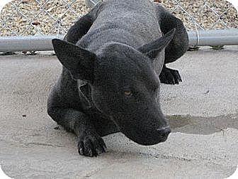 Bull Terrier/Labrador Retriever Mix Dog for adoption in Sherman Oaks, California - Nuri