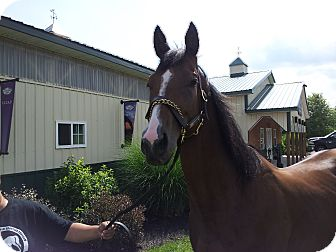 Thoroughbred Mix for adoption in Farmington, New York - SIDE EFFECT