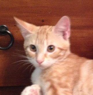 Domestic Shorthair Cat for adoption in Slidell, Louisiana - Logan