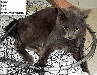 Domestic Mediumhair Cat for adoption in Hazard, Kentucky - Kirby