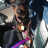 Adopt A Pet :: Ringo - Pierrefonds, QC