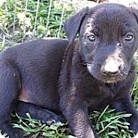 Adopt A Pet :: javas puppies - grants pass, OR