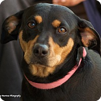 Adopt A Pet :: Amelia - Huntsville, AL