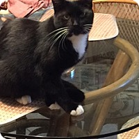 Domestic Shorthair Cat for adoption in Oviedo, Florida - Dapper the Handsome Tuxedo