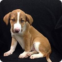 Adopt A Pet :: Glory - New Oxford, PA