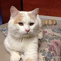 Domestic Mediumhair Cat for adoption in Marion, North Carolina - Wilbur