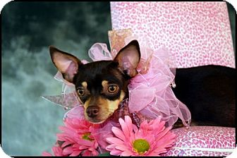 Chihuahua Dog for adoption in Dallas, Texas - SNICKERS