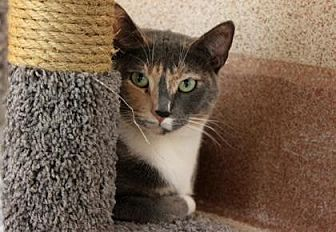 Domestic Shorthair Cat for adoption in Palm Springs, California - Zoe