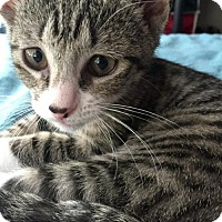 Domestic Shorthair Kitten for adoption in Philadelphia, Pennsylvania - DeeDee