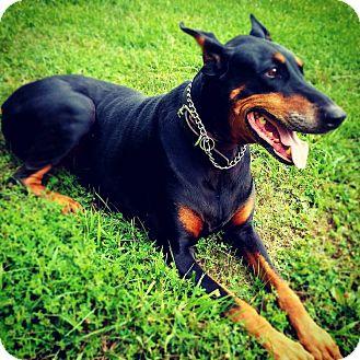 Doberman Pinscher Dog for adoption in New Richmond, Ohio - Rayne