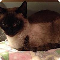 Siamese Cat for adoption in Shakopee, Minnesota - Diamond C1512
