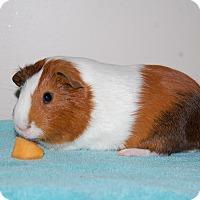 Adopt A Pet :: Angus - Hazel Park, MI