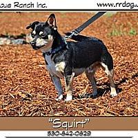 Adopt A Pet :: Squirt - Yreka, CA