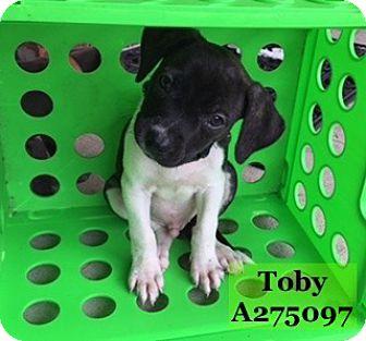 Labrador Retriever Mix Dog for adoption in Conroe, Texas - TOBY