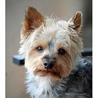 Adopt A Pet :: Bashful Baxter - Sinking Spring, PA