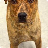 Plott Hound Mix Dog for adoption in Niagara Falls, New York - Chloe