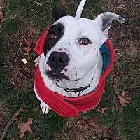 Adopt A Pet :: Atlas (Darrin/Davey) - Whitestone, NY