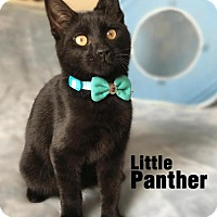 Adopt A Pet :: Little Panther B-D. - Orlando, FL