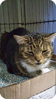 Domestic Shorthair Cat for adoption in Manchester, New Hampshire - Larkin;I'd love to go home!