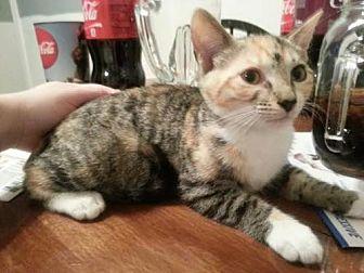 Domestic Mediumhair Cat for adoption in Port Richey, Florida - Susan