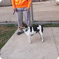 Rat Terrier Dog for adoption in San Antonio, Texas - Bucky