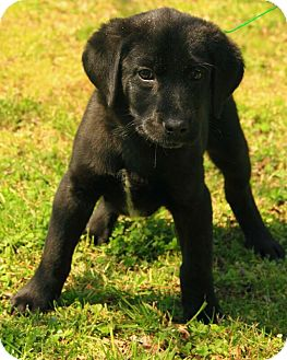 Flat-Coated Retriever Mix Puppy for adoption in Staunton, Virginia - Abbott