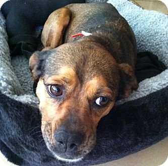 Pug/Beagle Mix Dog for adoption in Richmond, Virginia - Polly