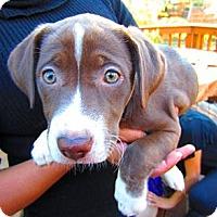 Adopt A Pet :: Timon - Alexandria, VA