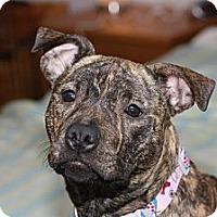 Adopt A Pet :: Ginger - Woodbridge, CT