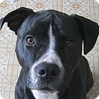 Adopt A Pet :: Beau - Courtesy Post, in Maine - kennebunkport, ME