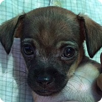 Adopt A Pet :: Chiweenie Puppies - San Marcos, CA
