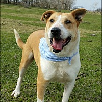 Labrador Retriever/Bull Terrier Mix Dog for adoption in Simsbury, Connecticut - Blondie