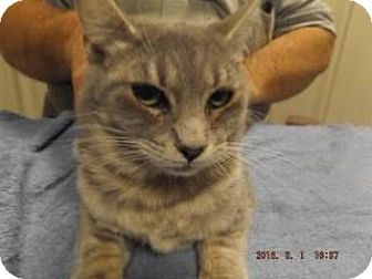 Domestic Shorthair Cat for adoption in Florence, Texas - Walsh