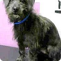 Adopt A Pet :: Norman-ADOPTION PENDING - Boulder, CO