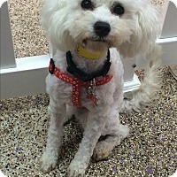 Adopt A Pet :: Juliette - Thousand Oaks, CA